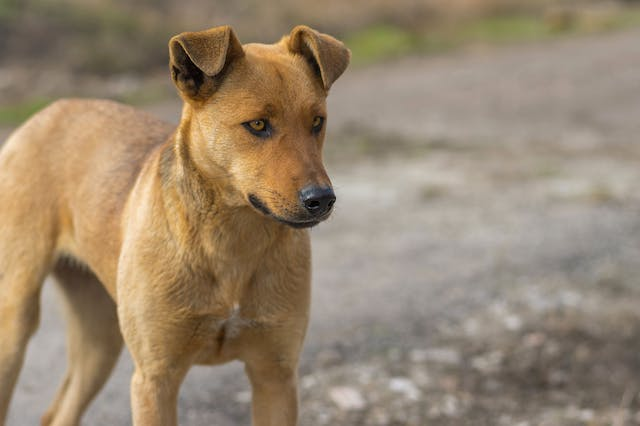 Pyuria in Dogs - Symptoms, Causes, Diagnosis, Treatment, Recovery, Management, Cost