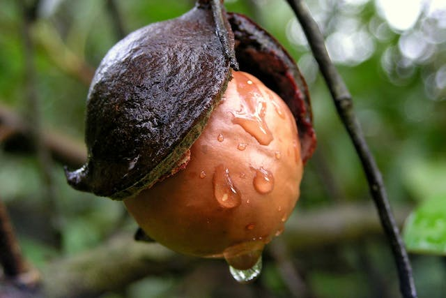 Queensland Nut Poisoning in Dogs - Symptoms, Causes, Diagnosis, Treatment, Recovery, Management, Cost
