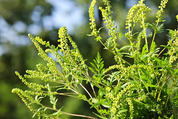 Ragweed Allergies in Dogs - Symptoms, Causes, Diagnosis, Treatment, Recovery, Management, Cost