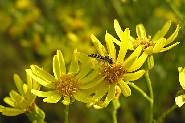 Ragwort Poisoning in Dogs - Symptoms, Causes, Diagnosis, Treatment, Recovery, Management, Cost