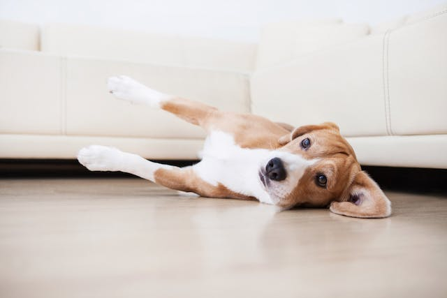 Rapid Heart Beat in Dogs - Symptoms, Causes, Diagnosis, Treatment, Recovery, Management, Cost