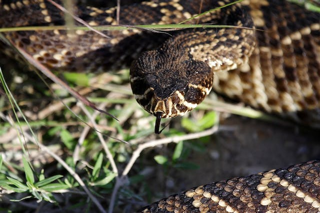 Rattlesnake Poisoning in Dogs - Symptoms, Causes, Diagnosis, Treatment, Recovery, Management, Cost