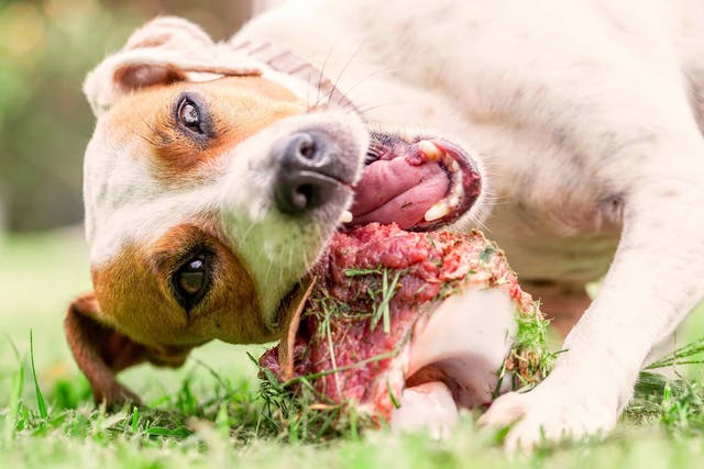 Raw Diet in Dogs - Conditions Treated, Procedure, Efficacy, Recovery, Cost, Considerations, Prevention