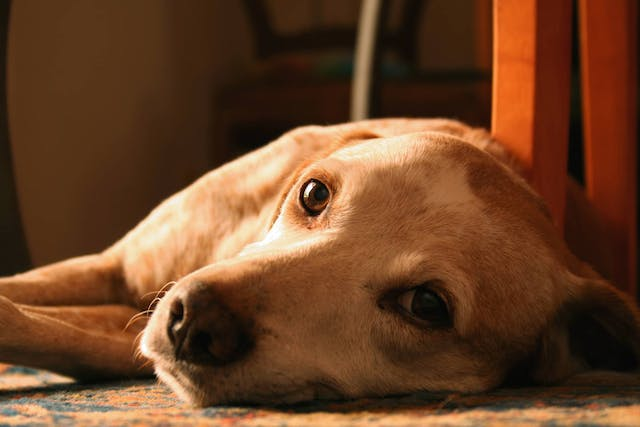 Recumbency in Dogs - Symptoms, Causes, Diagnosis, Treatment, Recovery, Management, Cost