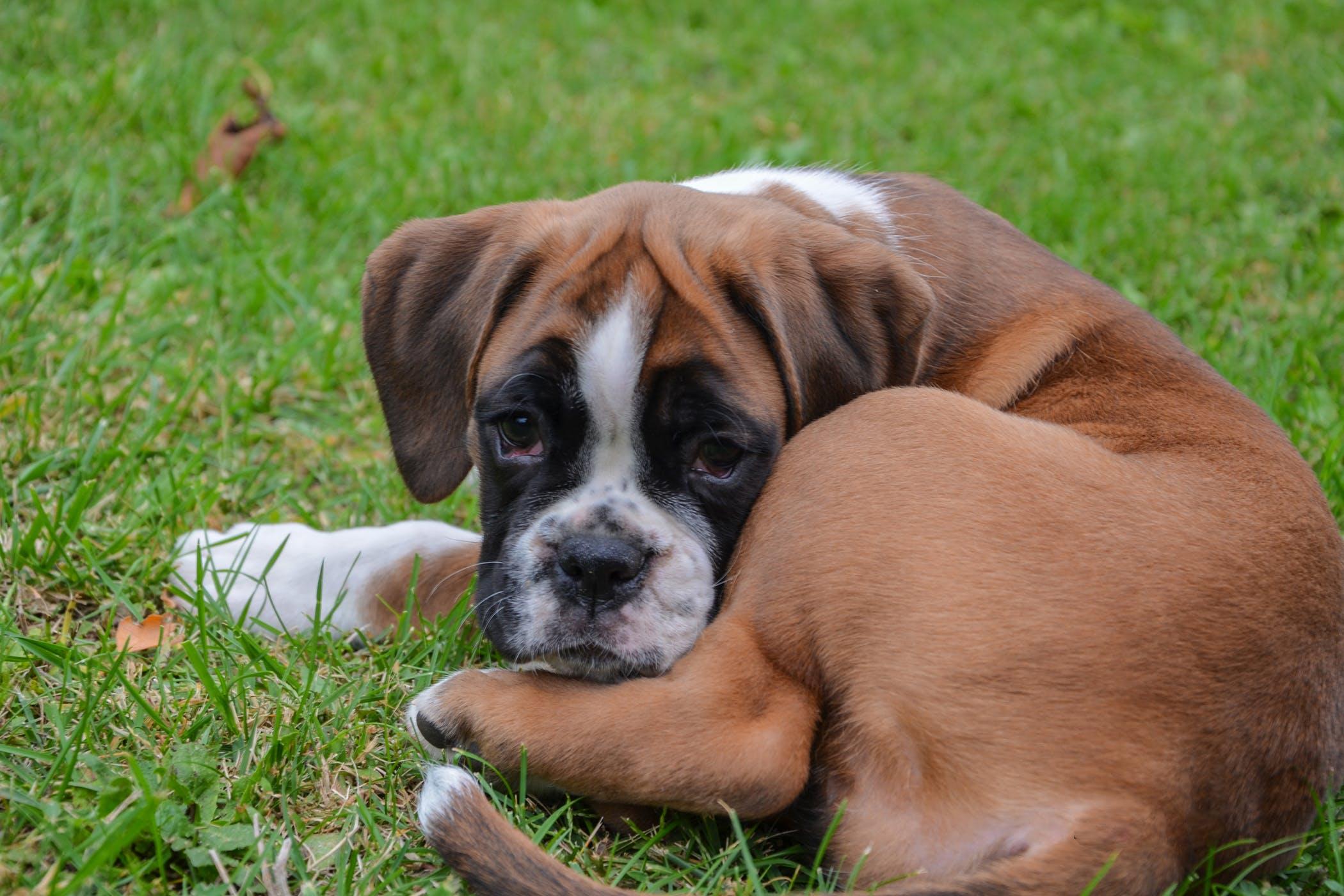 Repair Musculotendon Rupture in Dogs