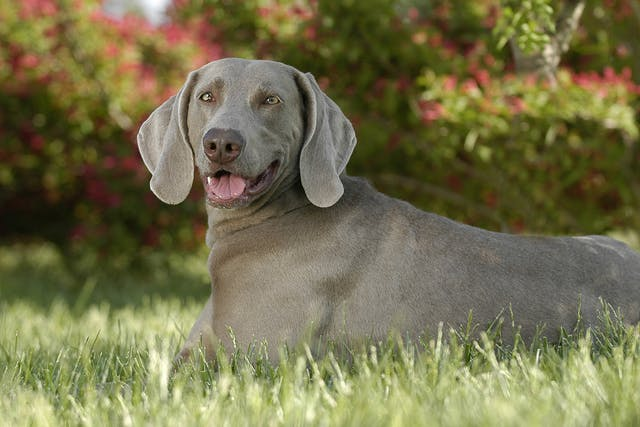Retrobulbar Abscess in Dogs - Symptoms, Causes, Diagnosis, Treatment, Recovery, Management, Cost
