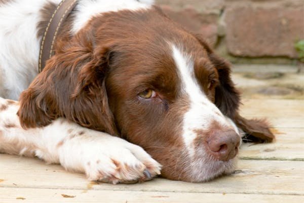 Revolution Allergies in Dogs - Symptoms, Causes, Diagnosis, Treatment, Recovery, Management, Cost