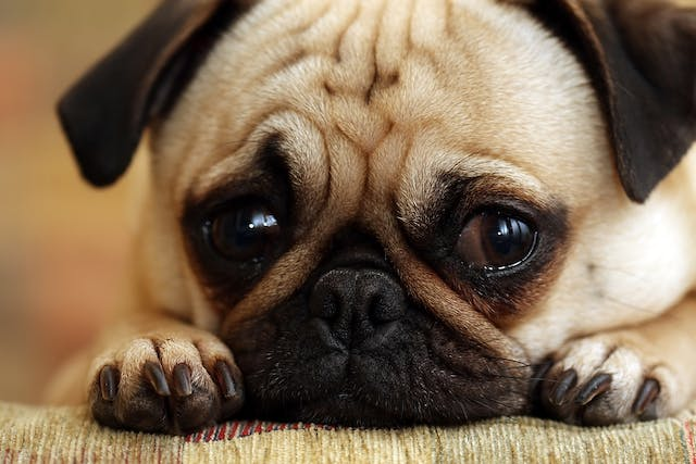 Rhinitis and Sinusitis in Dogs - Symptoms, Causes, Diagnosis, Treatment, Recovery, Management, Cost