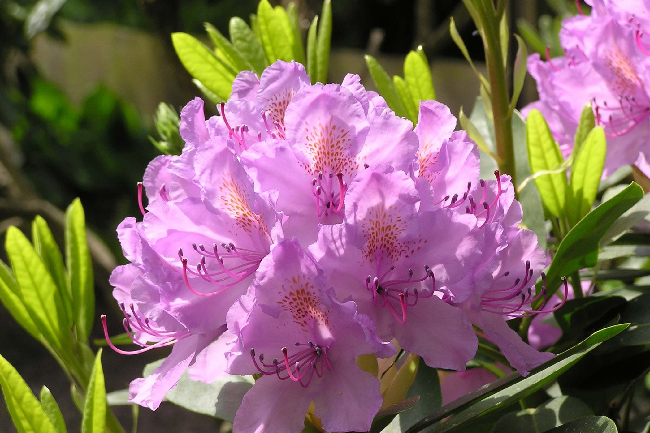 Rhododendron Poisoning In Dogs Symptoms Causes