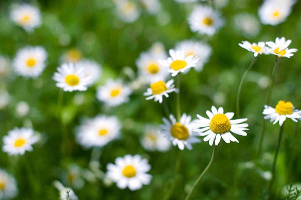 Roman Chamomile Poisoning in Dogs - Symptoms, Causes, Diagnosis, Treatment, Recovery, Management, Cost