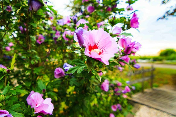 Rose of Sharon Poisoning in Dogs - Symptoms, Causes, Diagnosis, Treatment, Recovery, Management, Cost
