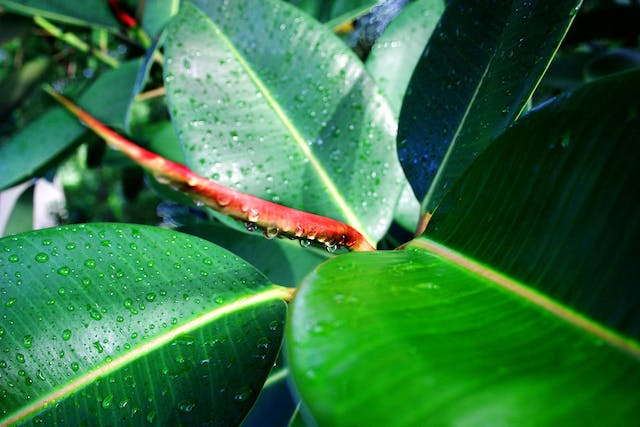Rubber Tree Poisoning in Dogs - Symptoms, Causes, Diagnosis, Treatment, Recovery, Management, Cost
