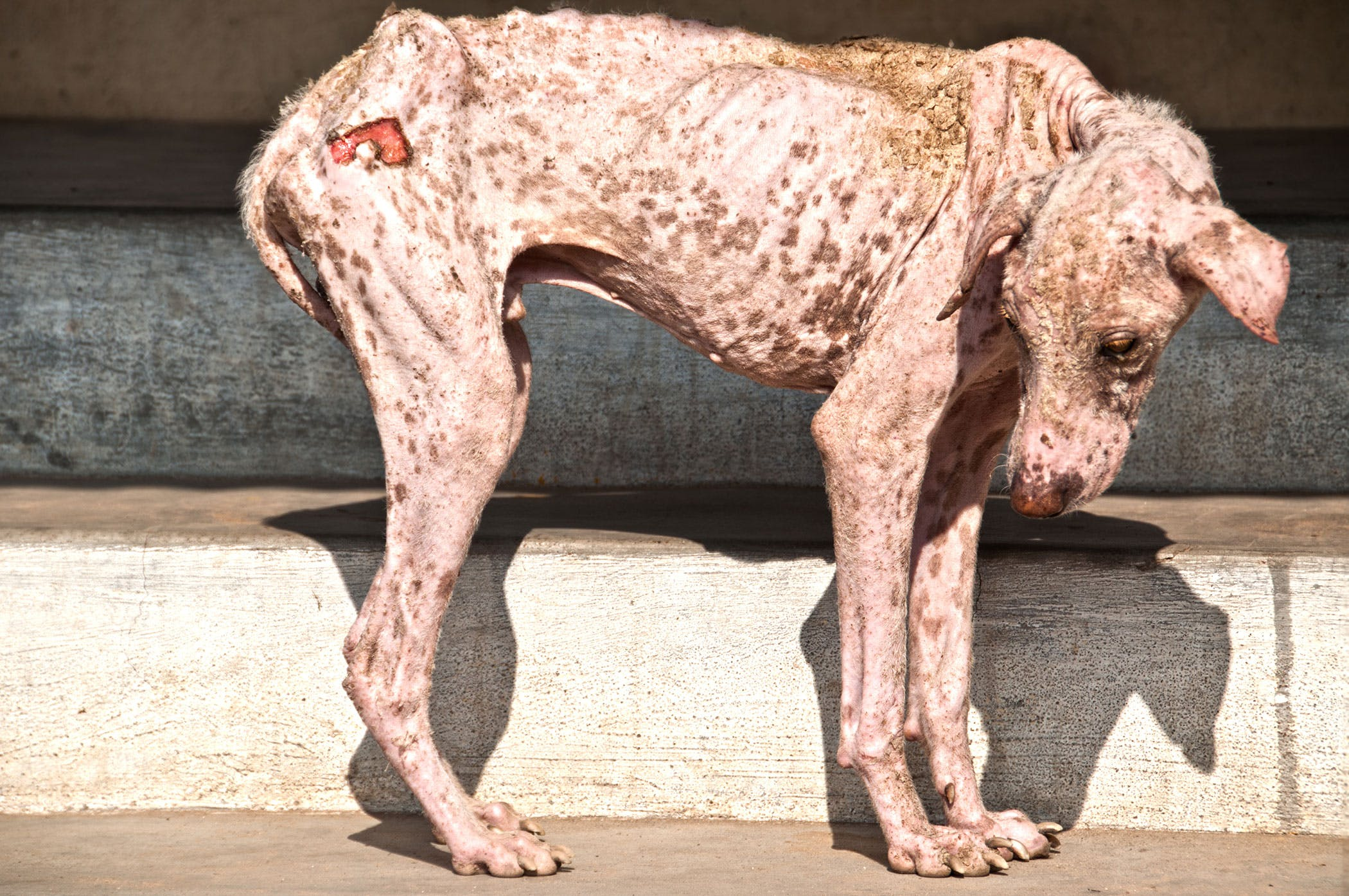 sarcoptic mange in dogs symptoms causes diagnosis treatment