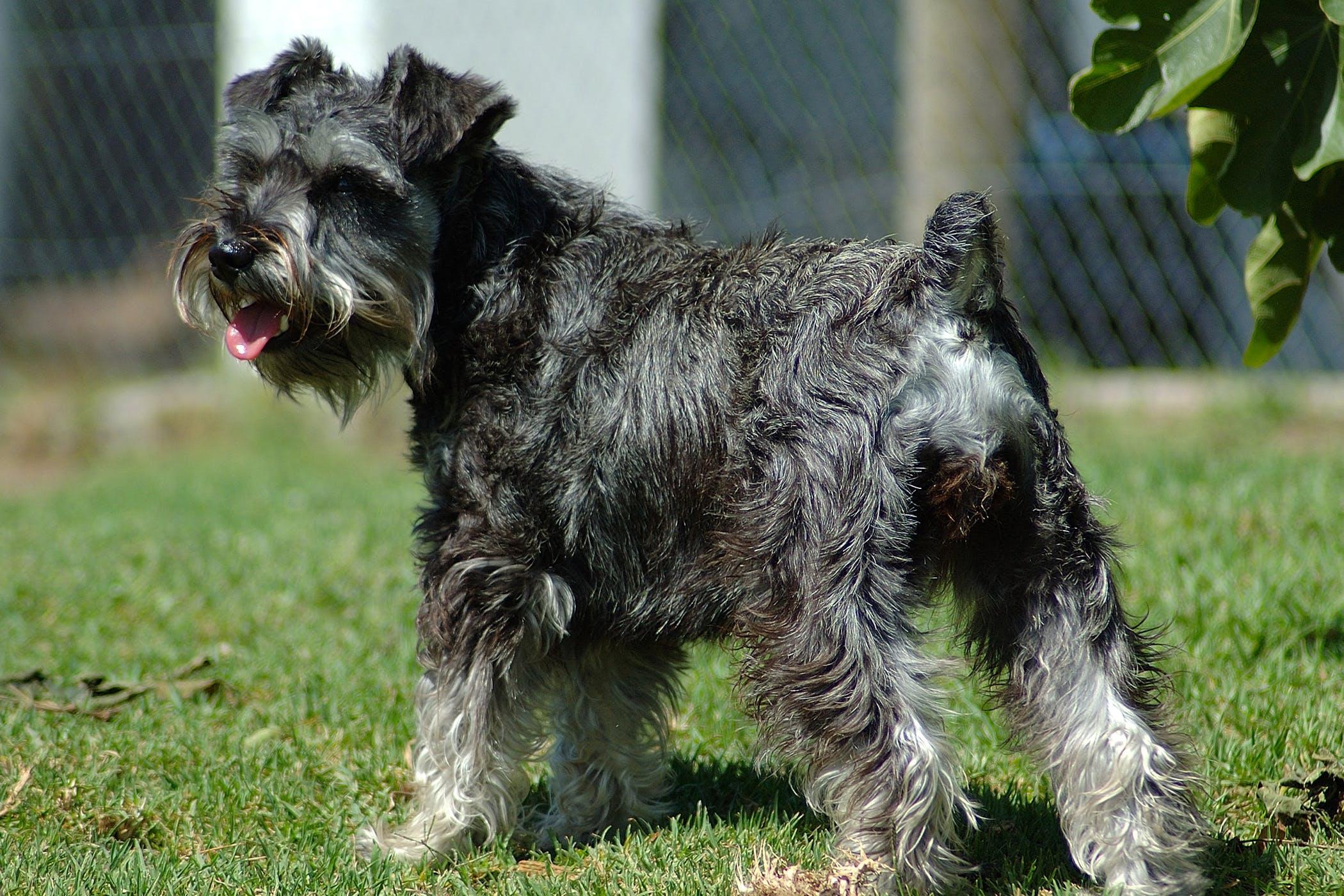 Schnauzer Comedo Syndrome In Dogs Symptoms Causes Diagnosis