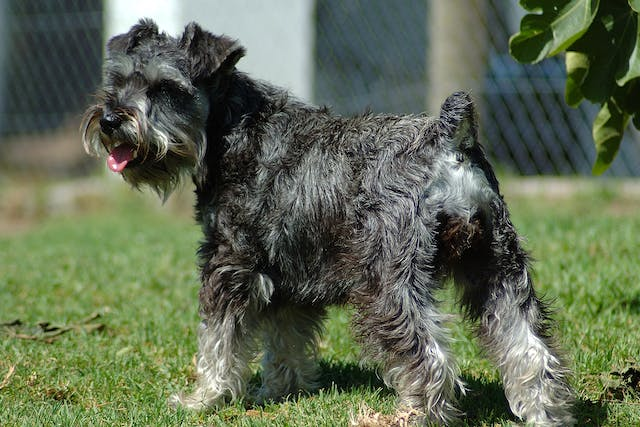 Schnauzer Comedo Syndrome in Dogs - Symptoms, Causes, Diagnosis, Treatment, Recovery, Management, Cost