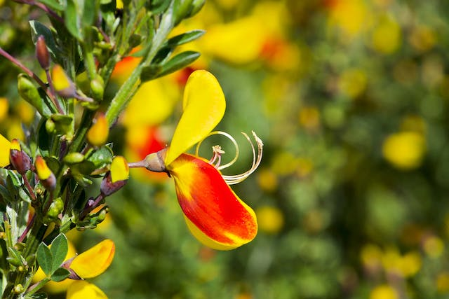 Scotch Broom Poisoning in Dogs - Symptoms, Causes, Diagnosis, Treatment, Recovery, Management, Cost