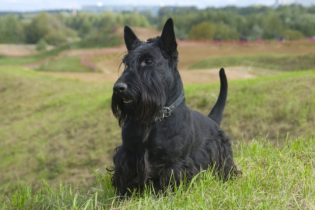 Scottie Cramp in Dogs - Symptoms, Causes, Diagnosis, Treatment, Recovery, Management, Cost