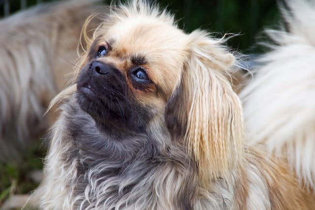Selective IgA Deficiency in Dogs - Symptoms, Causes, Diagnosis, Treatment, Recovery, Management, Cost