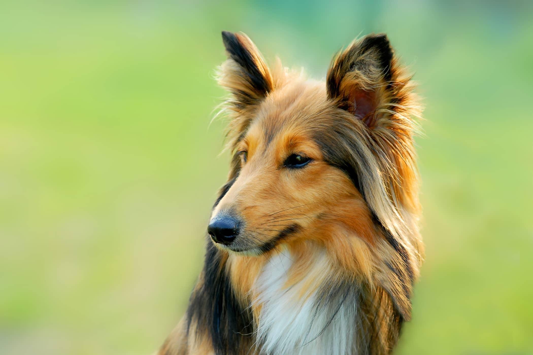 Selenium Supplements in Dogs