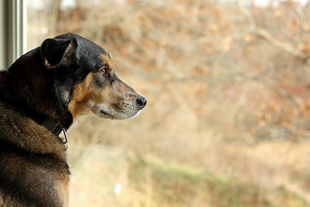 Separation Anxiety in Dogs - Symptoms, Causes, Diagnosis, Treatment, Recovery, Management, Cost