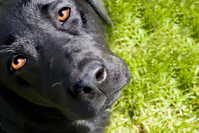Separation of the Inner Lining of the Eye in Dogs - Symptoms, Causes, Diagnosis, Treatment, Recovery, Management, Cost