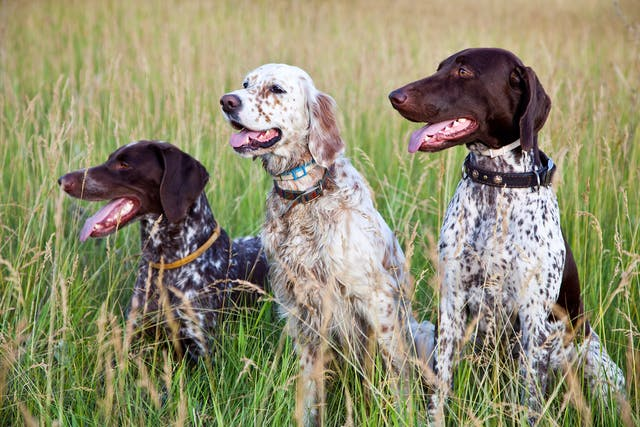 Severe Combined Immunodeficiency (SCID) in Dogs - Symptoms, Causes, Diagnosis, Treatment, Recovery, Management, Cost