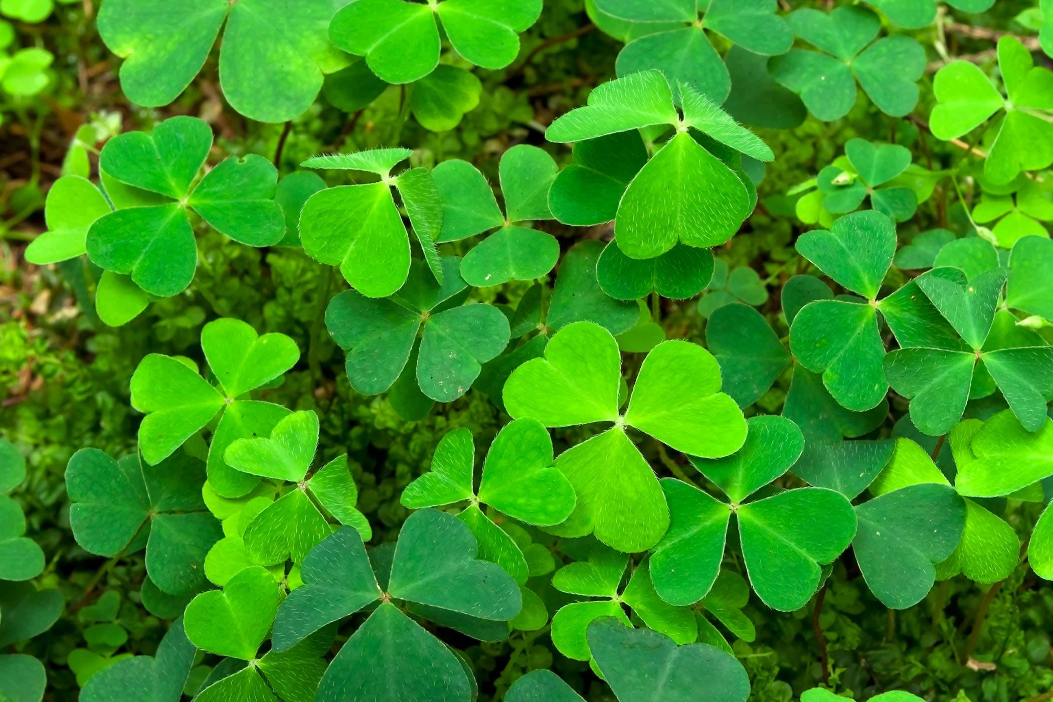 Shamrock Poisoning In Dogs Symptoms Causes Diagnosis