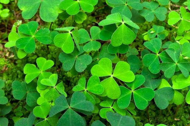 Shamrock Poisoning in Dogs - Symptoms, Causes, Diagnosis, Treatment, Recovery, Management, Cost