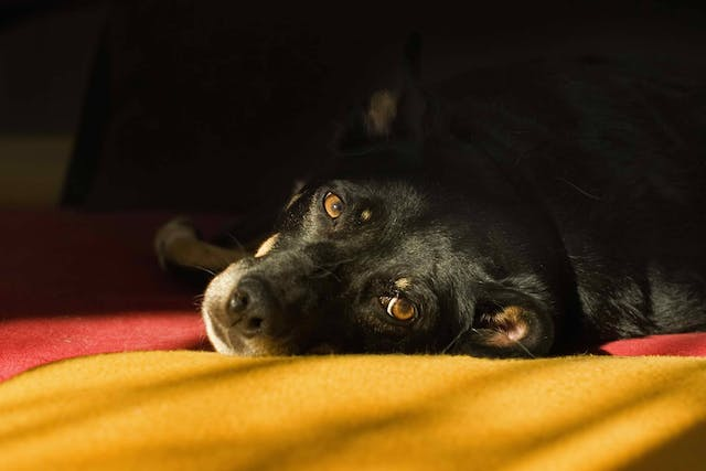 Shoulder Dysplasia in Dogs - Symptoms, Causes, Diagnosis, Treatment, Recovery, Management, Cost