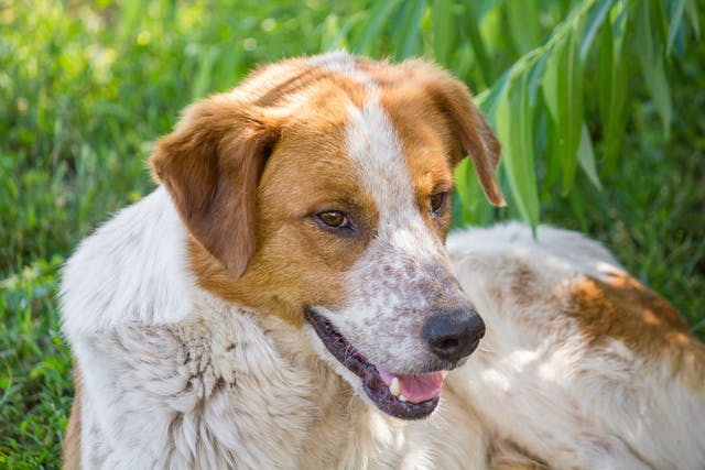 Skeletal Muscle Disorder (Myontonia) in Dogs - Symptoms, Causes, Diagnosis, Treatment, Recovery, Management, Cost