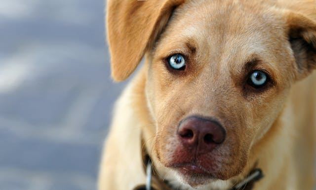 Skin and Eye Inflammation Due to Autoimmune Disorder (Uveodermatologic Syndrome) in Dogs - Symptoms, Causes, Diagnosis, Treatment, Recovery, Management, Cost