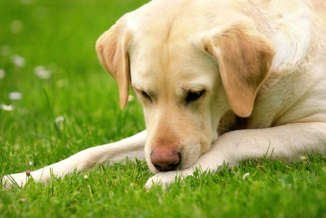 Skin Ulceration in Dogs - Symptoms, Causes, Diagnosis, Treatment, Recovery, Management, Cost