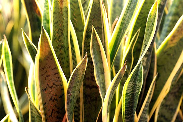Snake Plant Poisoning in Dogs - Symptoms, Causes, Diagnosis, Treatment, Recovery, Management, Cost
