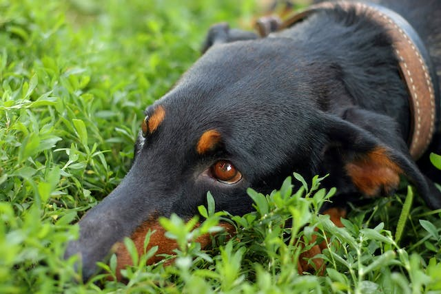 Spasm of the Rear Legs in Dogs - Symptoms, Causes, Diagnosis, Treatment, Recovery, Management, Cost