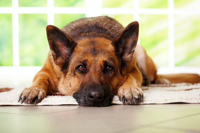 Spinal Cord Disease in Dogs - Symptoms, Causes, Diagnosis, Treatment, Recovery, Management, Cost