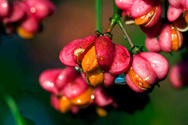 Spindle Tree Poisoning in Dogs - Symptoms, Causes, Diagnosis, Treatment, Recovery, Management, Cost