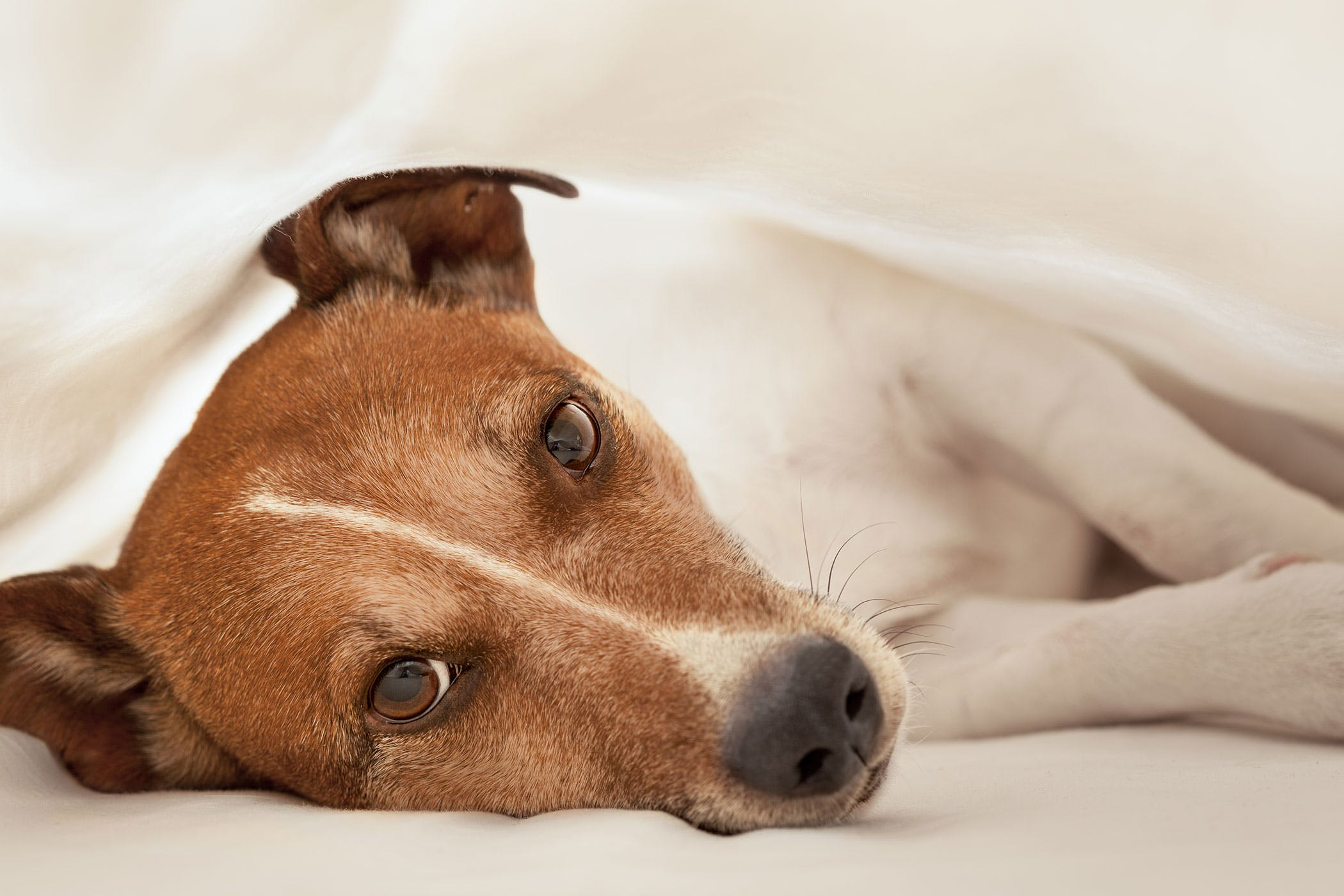 Spleen and Liver Hemangiosarcoma in Dogs - Symptoms, Causes