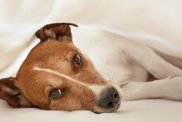 Liver and Spleen Cancer (Hemangiosarcoma) in Dogs - Symptoms, Causes, Diagnosis, Treatment, Recovery, Management, Cost