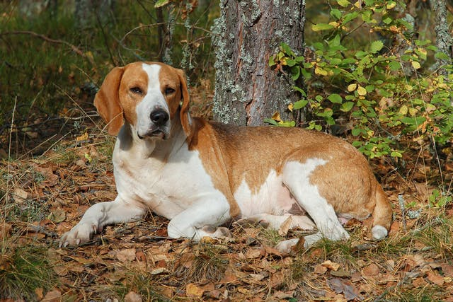 Splenic Hemorrhage in Dogs - Symptoms, Causes, Diagnosis, Treatment, Recovery, Management, Cost