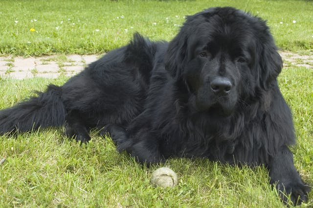 Splenic Torsion in Dogs - Symptoms, Causes, Diagnosis, Treatment, Recovery, Management, Cost