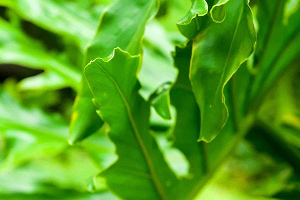 Split Leaf Philodendron Poisoning in Dogs - Symptoms, Causes, Diagnosis, Treatment, Recovery, Management, Cost