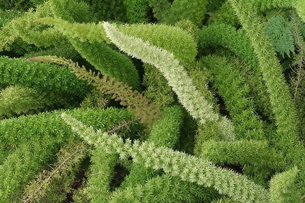 Sprengeri Fern Poisoning in Dogs - Symptoms, Causes, Diagnosis, Treatment, Recovery, Management, Cost
