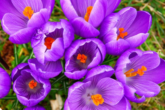 Spring Crocus Poisoning in Dogs - Symptoms, Causes, Diagnosis, Treatment, Recovery, Management, Cost