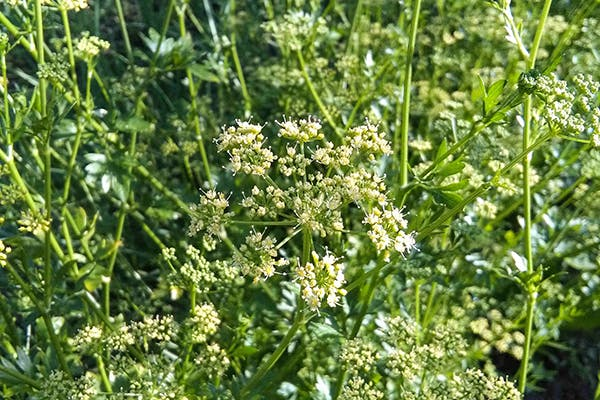 Spring Parsley Poisoning in Dogs - Symptoms, Causes, Diagnosis, Treatment, Recovery, Management, Cost