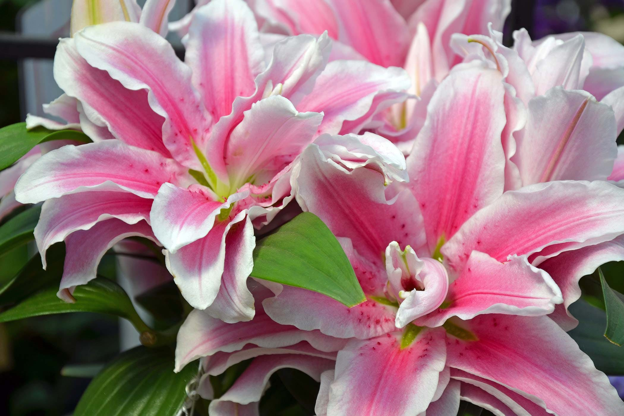 Stargazer lily poisoning in dogs symptoms causes diagnosis stargazer lily poisoning in dogs izmirmasajfo