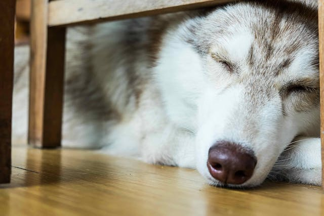 Stiffness and Inflammation in Dogs - Symptoms, Causes, Diagnosis, Treatment, Recovery, Management, Cost