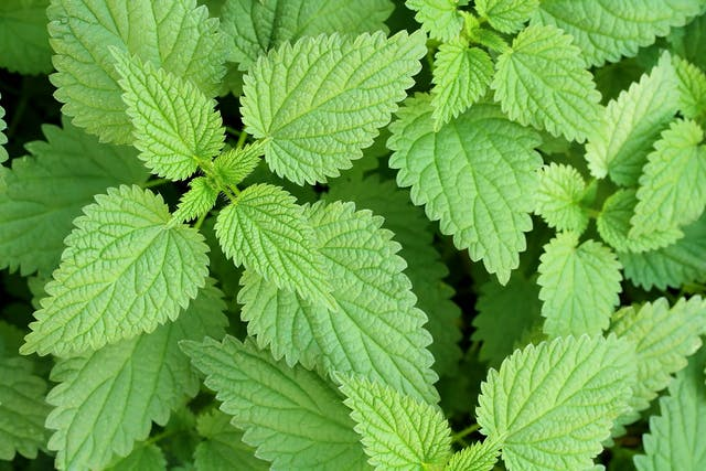 Stinging Nettle Poisoning in Dogs - Symptoms, Causes, Diagnosis, Treatment, Recovery, Management, Cost