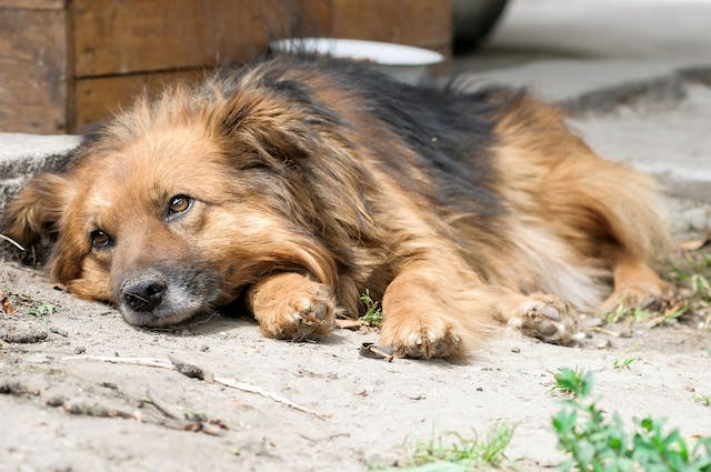 Stomach Disorder (Loss of Motility) in Dogs - Symptoms, Causes, Diagnosis, Treatment, Recovery, Management, Cost