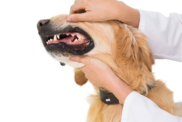 Stomach and Intestinal Ulcers in Dogs - Symptoms, Causes, Diagnosis, Treatment, Recovery, Management, Cost