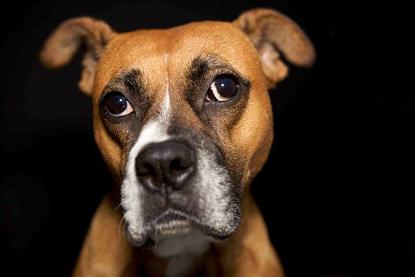 Strabismus in Dogs - Symptoms, Causes, Diagnosis, Treatment, Recovery, Management, Cost